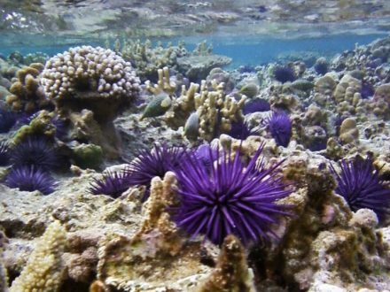 purple sea urchin blue bay mauritius